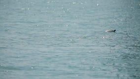 Delfín que nada agraciado en la agua de mar, animales salvajes en hábitat natural almacen de video