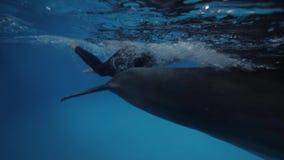 Delfín que nada bajo el agua junto al instructor en piscina flotante en dolphinarium almacen de metraje de vídeo