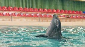 Delfín que nada la piscina subacuática y que juega con el anillo en dolphinarium metrajes