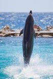 Delfín que recorre en el agua fotografía de archivo