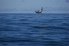 Delfín que salta de la costa de Kauai Foto de archivo libre de regalías
