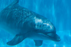 Delfín subacuático Imagen de archivo libre de regalías