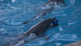 Delfín y bola azul almacen de video