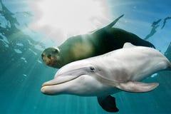 Delfín y león marino subacuáticos Fotos de archivo