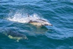 Delfínes comunes Imágenes de archivo libres de regalías