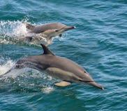 Delfínes comunes Imagen de archivo libre de regalías