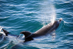 Delfínes de Bottlenose Imagenes de archivo