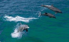 Delfínes de Bottlenose Fotografía de archivo