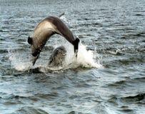 Delfínes de Bottlenose Foto de archivo libre de regalías
