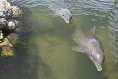 Delfínes de Bottlenose que nadan Fotografía de archivo