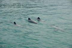 Delfínes de Hector imagen de archivo