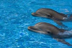 Delfínes de la nariz de la botella Fotografía de archivo libre de regalías