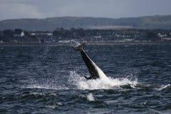 Delfínes de la nariz de la botella Fotos de archivo libres de regalías
