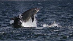 Delfínes de la nariz de la botella Imagenes de archivo