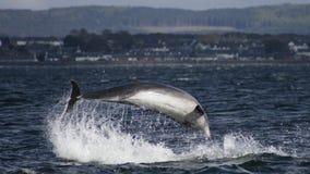 Delfínes de la nariz de la botella Imágenes de archivo libres de regalías