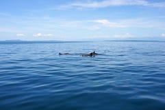 Delfínes de la natación en el mar tranquilo foto de archivo libre de regalías