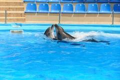Delfínes de los pares que bailan en el agua Fotografía de archivo libre de regalías