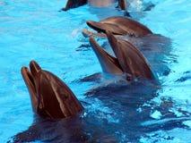 Delfínes de risa imagen de archivo libre de regalías