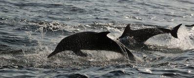 Delfínes de salto. imagen de archivo libre de regalías