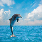 Delfínes de salto uno Imágenes de archivo libres de regalías