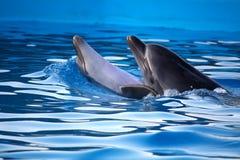 Delfínes del baile Foto de archivo libre de regalías