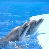 Delfínes del baile Imagenes de archivo
