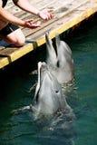 Delfínes del canto Imágenes de archivo libres de regalías