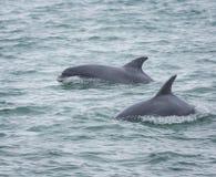 Delfínes del delfín de Bottlenose Foto de archivo libre de regalías