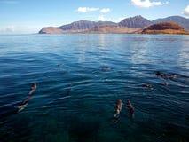 Delfínes del hilandero Imagenes de archivo
