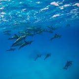 Delfínes del hilandero fotos de archivo libres de regalías