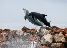 Delfínes del vuelo Fotos de archivo libres de regalías