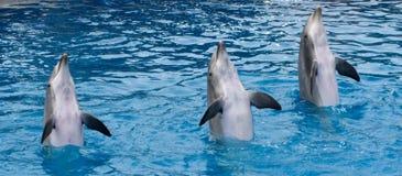 Delfínes derechos Foto de archivo