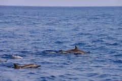 Delfínes durante un salto (vuelo) Fotos de archivo libres de regalías