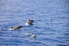 Delfínes durante un salto (vuelo) Imagenes de archivo