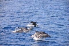 Delfínes durante un salto (vuelo) Fotografía de archivo
