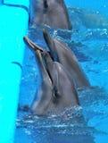 Delfínes en dolphinarium Foto de archivo libre de regalías