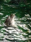 Delfínes en el Dolphinarium Foto de archivo