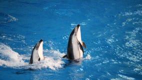 Delfínes en el juego Fotos de archivo
