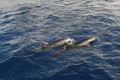 Delfínes en el Mar Rojo Imagenes de archivo
