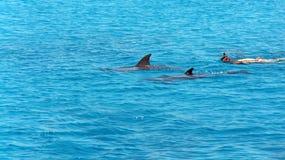 Delfínes en el Mar Rojo Foto de archivo libre de regalías