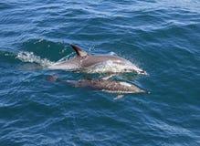 Delfínes en el salvaje imagen de archivo libre de regalías