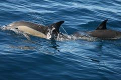 Delfínes en el salvaje imagenes de archivo