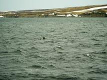 Delfínes en Husavik Islandia Imagen de archivo libre de regalías