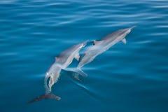 Delfínes en Kauai Foto de archivo libre de regalías