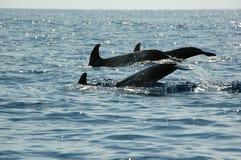 Delfínes en las Azores Foto de archivo libre de regalías