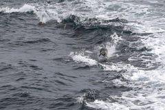 Delfínes en ondas imagen de archivo libre de regalías