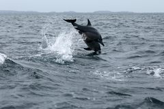 Delfínes en Trincomalee Sri Lanka en el Océano Índico Imagenes de archivo