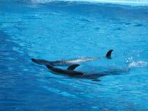 Delfínes en un agua azul imagen de archivo