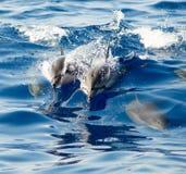 Delfínes hawaianos del hilandero Imagenes de archivo
