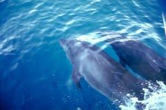 Delfínes - islas de las Islas Gal3apagos Imagen de archivo